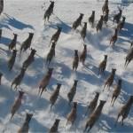 Spring Elk surveys underway at the Blackfoot Clearwater Winter Game Range